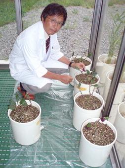 納豆菌を使って育てられている金時草
